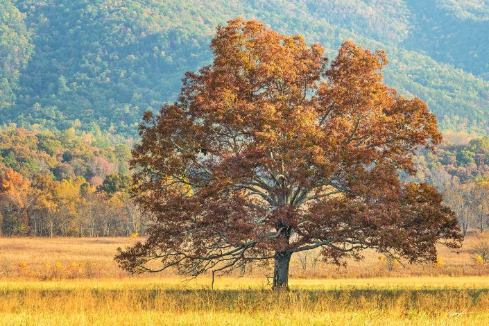 Golden Tree Cades Cove Smoky Mountain National Park Tennessee