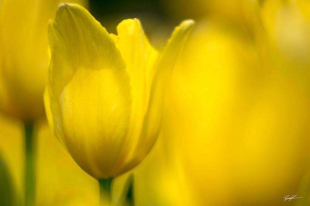Yellow Tulip Group