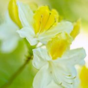 Yellow and White Azaleas