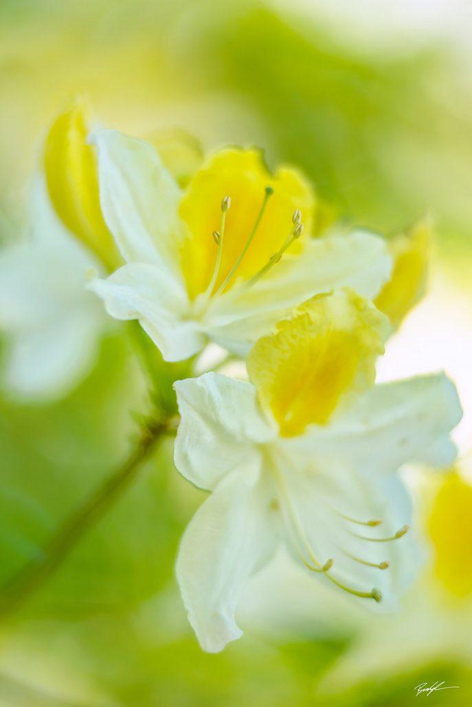 Yellow and White Azaleas