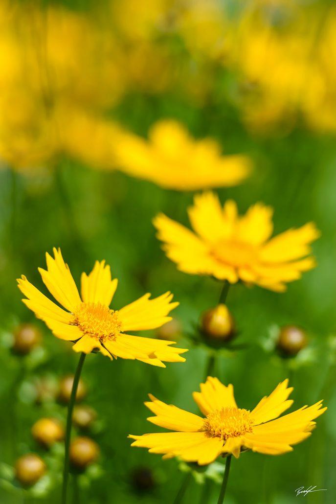 Yellow Coreopsis