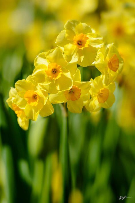 Yellow Daffodil Cluster