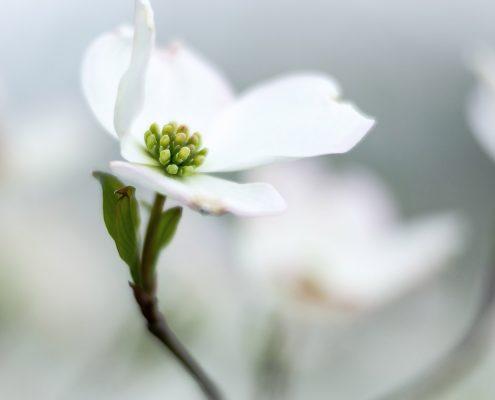 Dogwood Tree Blossom White