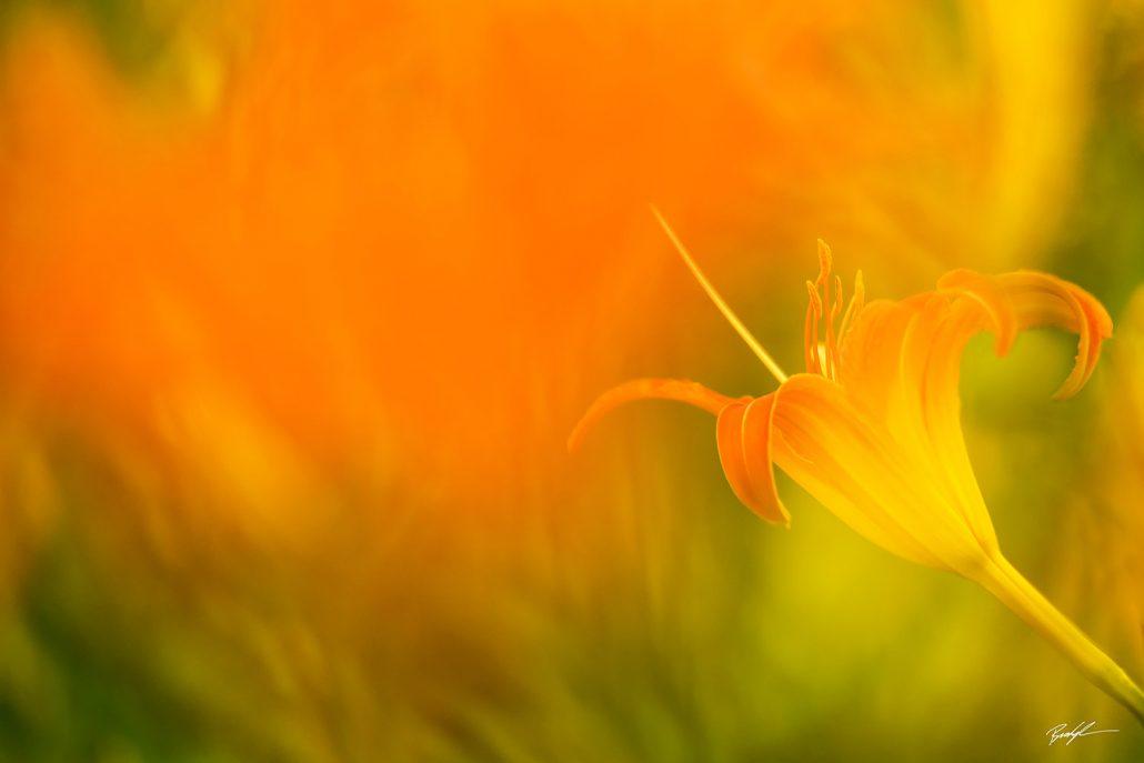 Roadside Lily Orange