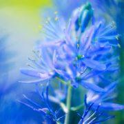 Camass Flower