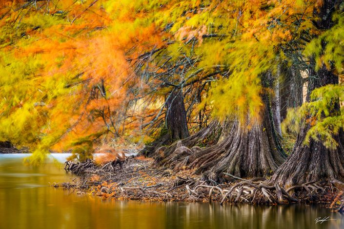 Bald Cyprus Autumn Shaw Nature Reserve Missouri