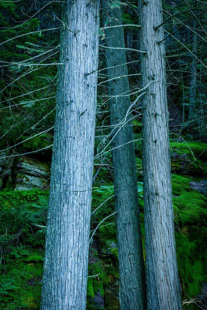 Ancient Cedars, Glacier National Park, Montana
