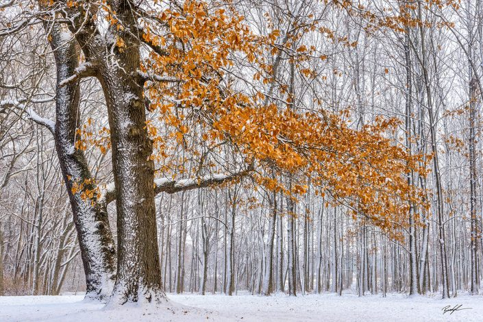 Autumn Tree in Snow Silver Lake Highland Illinois