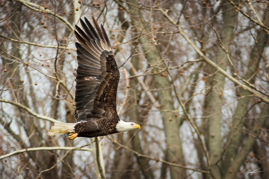 Bald Eagle in Flight Carlyle Illinois