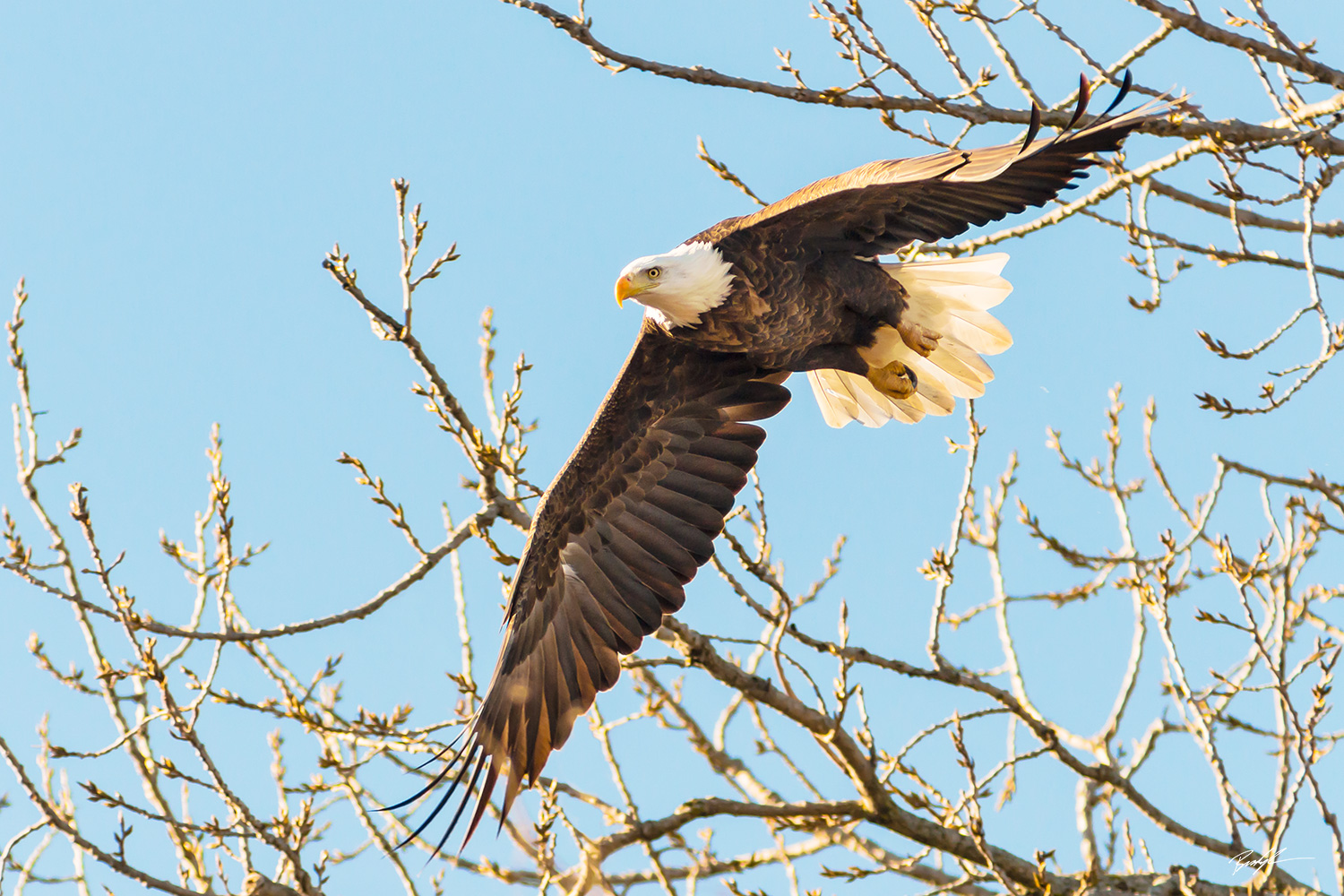 Bald Eagle, Outstretched Wings