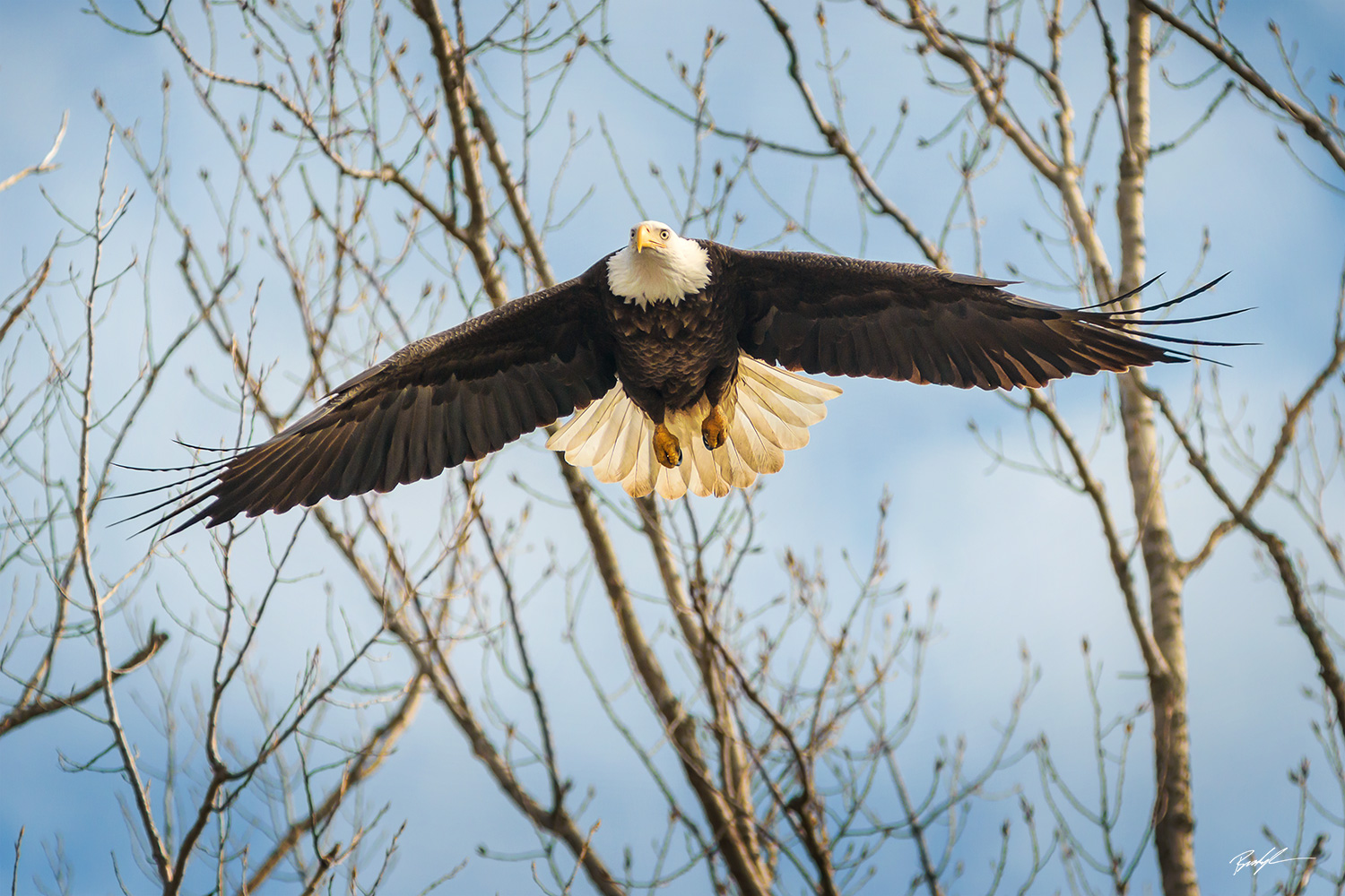Bald Eagle Outstretched Wings Carlyle Illinois