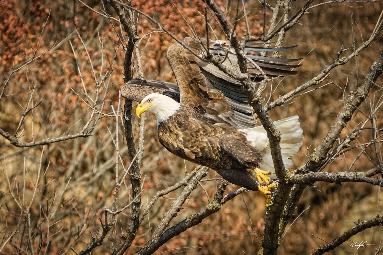 Bald Eagle Trees Grafton Illinois