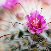Cactus Silken Pincushion Pink