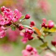 Crab Apple Blossoms Pink