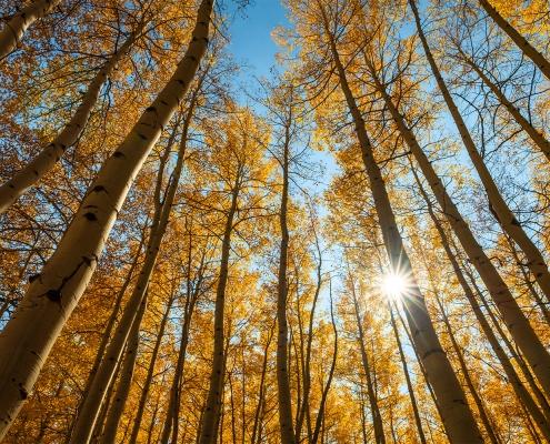 Aspen Trees Sunburst, San Juan Mountains Colorado