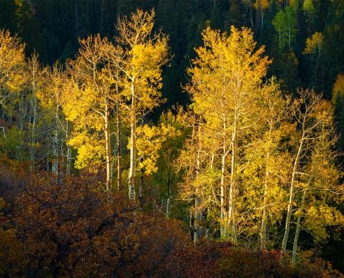 Aspen Trees San Juan Mountains Colorado