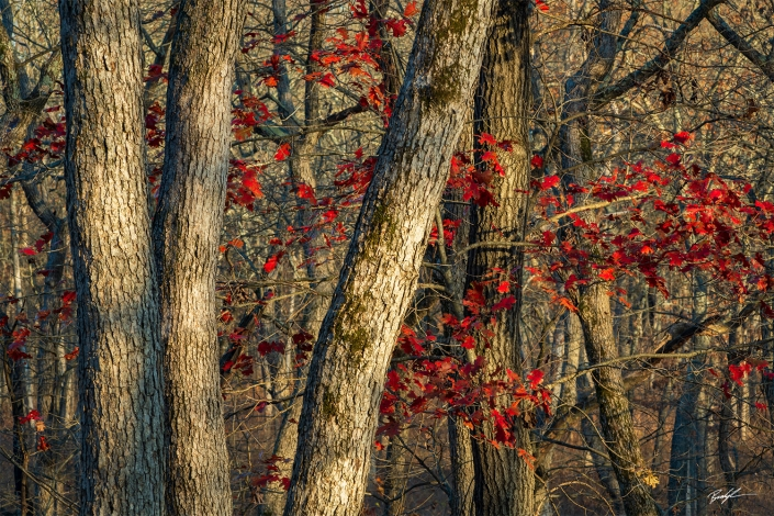 Oak Tree Grove Shaw Nature Reserve Missouri