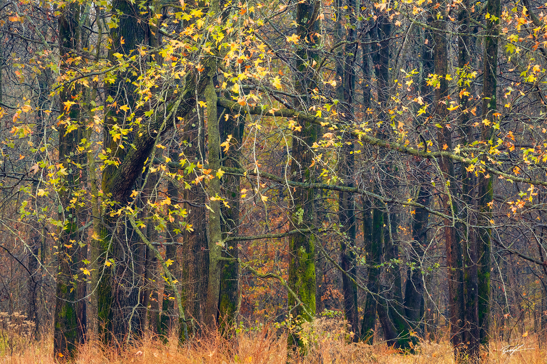 Autumn Trees Yellow Eldon Hazlet State Park Illinois