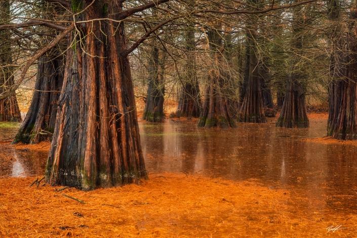Bald Cypress Tree Eldon Hazlet State Park Illinois