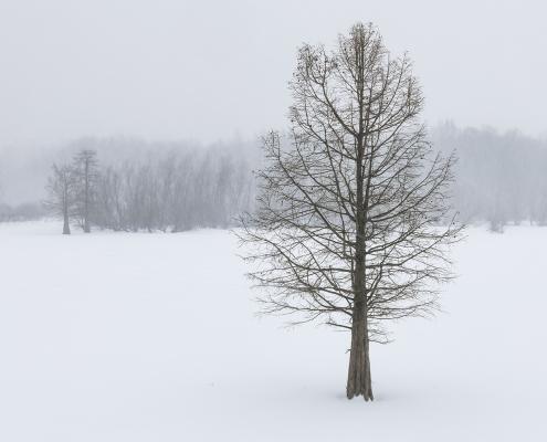 Bald Cypress Tree Winter Eldon Hazlet State Park Illinois