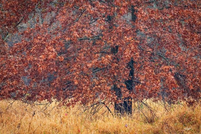 Oak Tree Eldon Hazlet State Park Illinois