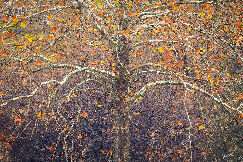 Sycamore Tree Eldon Hazlet State Park Illinois
