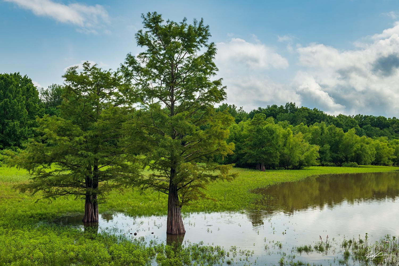 Bald Cypress Trees Summer Eldon Hazlet State Park Illinois
